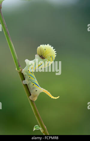 Deaths Head Hawkmoth Larva; Acherontia atropos Single on Stem; Cornwall; UK - Stock Photo