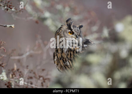 Eagle Owl; Bubo bubo Single in Tree; UK - Stock Photo