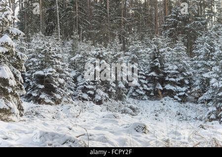 Spruce trees forest covered with snow silent winter Picea abies - Stock Photo
