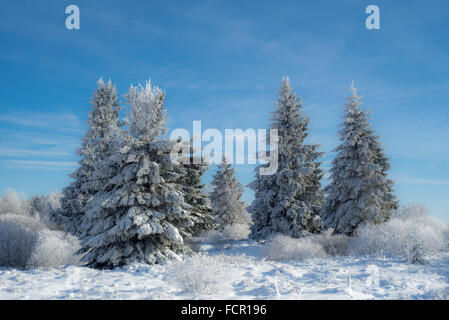 Norway spruces (Picea abies) covered in white frost in moorland in winter - Stock Photo