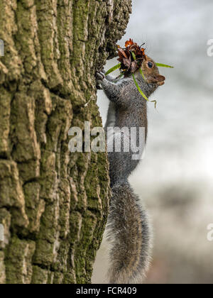 Single Grey Squirrel (Sciurus carolinensis) foraging in natural woodland countryside setting. 'Posing on a tree trunk carrying l