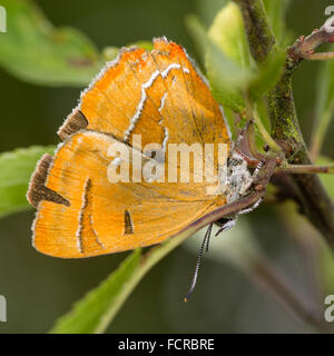Brown hairstreak (Thecla betulae) on blackthorn. An extremely elusive and rare butterfly photographed with wings - Stock Photo