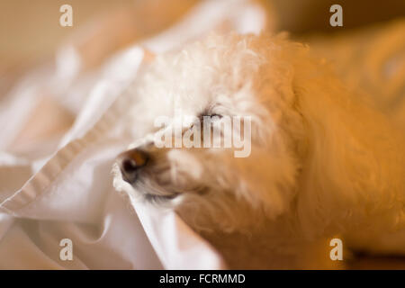 Bichon Frise dog sleeping on white sheets in bed - Stock Photo