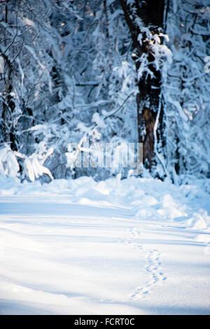 Animal tracks through snow, Ouachita mountains, Arkansas, USA - Stock Photo