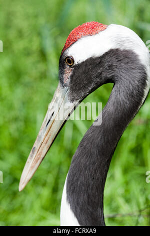 Red-crowned, Japanese or  Manchurian Crane (Grus japonsis).  Showing red, blood filled papillae, on top of the head. - Stock Photo