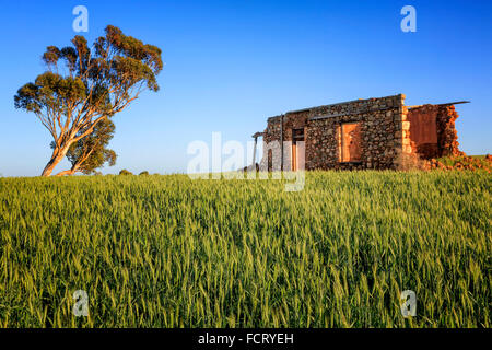 Ruined old farm house in the middle of a wheat field - Stock Photo