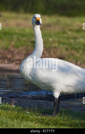 Bewick's or Tundra Swan (Cygnus columbianus bewickii). - Stock Photo