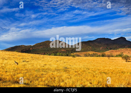 flinders ranges national park in South Australia near WIlpena Pound with wildlife kangaroo in grass of outback bush - Stock Photo