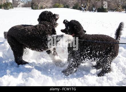 Washington, DC, USA. 24th Jan, 2016. The Obama family dogs Bo and Sunny play in the snow on the South Lawn of the - Stock Photo
