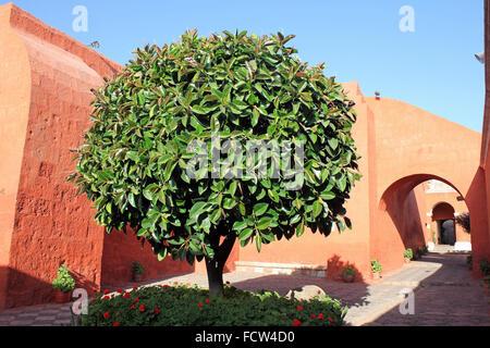 Oleander Tree In Santa Catalina Convent, Arequipa, Peru - Stock Photo