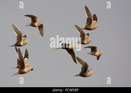 A flock of Chestnut-bellied Sandgrouses (Pterocles exustus) in flight - Stock Photo