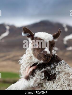 Young spring lamb, Audbrekka farm, Horgardalur valley, Iceland - Stock Photo