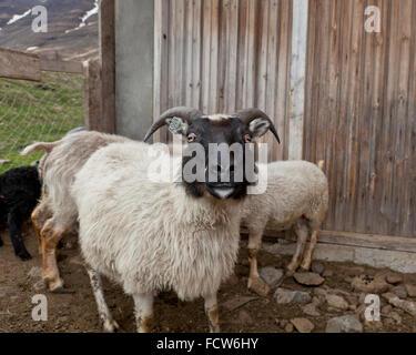 Black and white sheep,  Audbrekka farm, Horgardalur valley, Iceland - Stock Photo