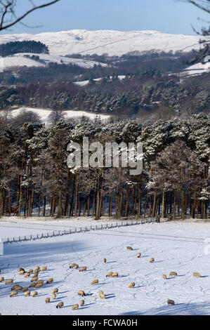 Sheep grazing in snow covered field, Tyne Valley, Northumberland - Stock Photo