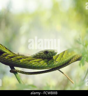 Green Mamba on the Branches - Stock Photo