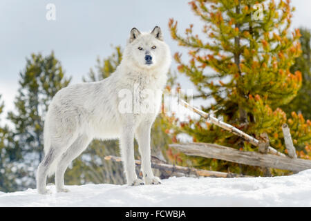 Gray Wolf (Canis lupus) standing in snow, looking at camera, captive, Yellowstone. - Stock Photo