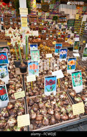 Bulb / bulbs (including Amaryllis varieties) for sale in the autumn at the Amsterdam floating flower market – the - Stock Photo
