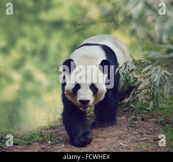 Giant Panda Bear Walking in the Woods - Stock Photo