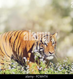 Malayan Tiger Walking Through Wild Flowers - Stock Photo