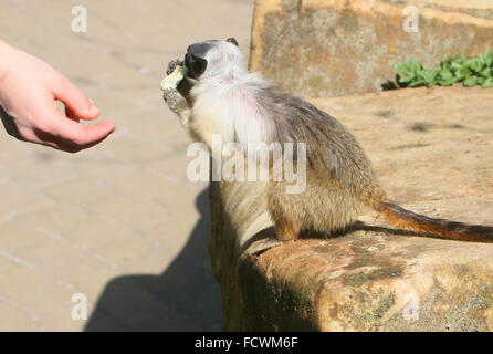 Brazilian Pied Tamarin monkey (Saguinus bicolor) being fed a piece of fruit by a zoo keeper at Apenheul primate - Stock Photo