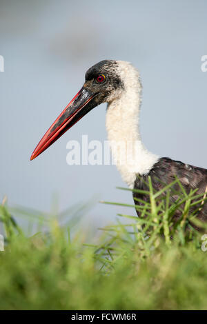 A Woolly-necked stork  (Ciconia episcopus) - Stock Photo