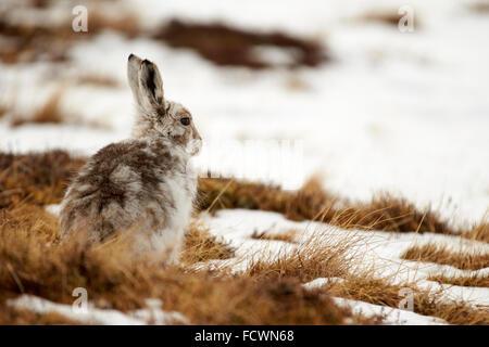 Mountain Hare on a snowy mountain (Lepus timidus) Cairngorm National Park, Scotland, United Kingdom - Stock Photo