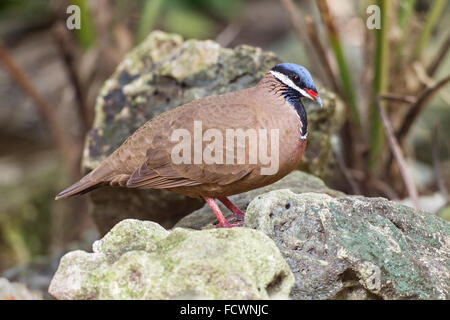 blue-headed quail-dove (Starnoenas cyanocephala) adult walking on ground, among rocks, Cuba - Stock Photo