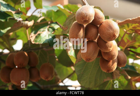 Ripe kiwi fruits on the tree - Stock Photo