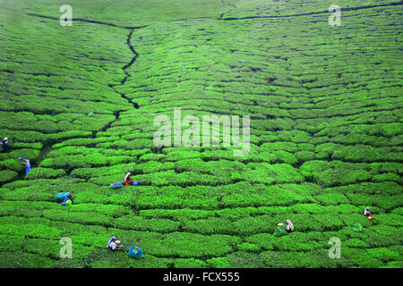 Work in the tea Plantations in Ella, Sri Lanka - Stock Photo