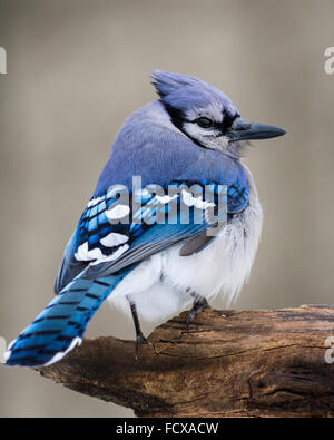 A blue jay perched on a cold winter day. - Stock Photo
