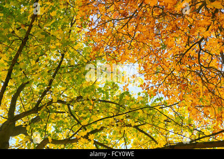 Hanging branches of golden autumn leaves contrasted against the blue sky, horse chestnut and Norway Maple - Stock Photo