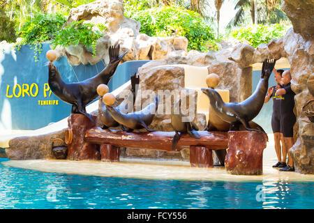 TENERIFE, SPAIN - JANUARY 15, 2013: Shows seals and sea lions in the pool, Loro parque, Puerto de la Cruz, Santa - Stock Photo