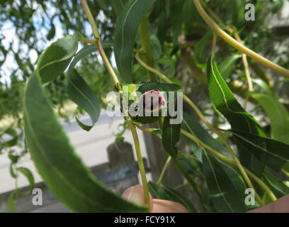 5th instar puss moth caterpillar (Cerura vinula) in defensive posture on corkscrew willow (Salix matsudana 'tortuosa') - Stock Photo
