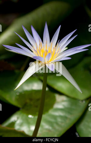 Blue water lily flower - Stock Photo