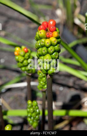 Arum maculatum berries in autumn - Stock Photo
