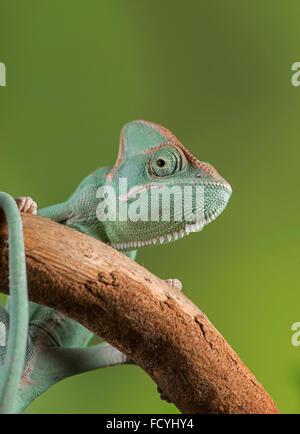 Veiled (or Yemen) Chameleon (Chamaeleo calyptratus). Controlled, studio - Stock Photo