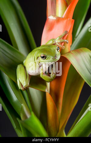 Australian Green, or  White's Tree Frog: Litoria caerulea. Controlled, Studio - Stock Photo