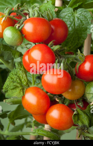 Fresh ripe cherry tomatoes on a plant - Stock Photo