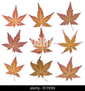Set of autumn maple leaves pressed, isolated - Stock Photo