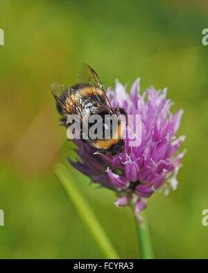 Bumblebee on clover - Stock Photo