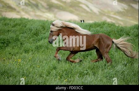 Icelandic Horse running, Iceland - Stock Photo