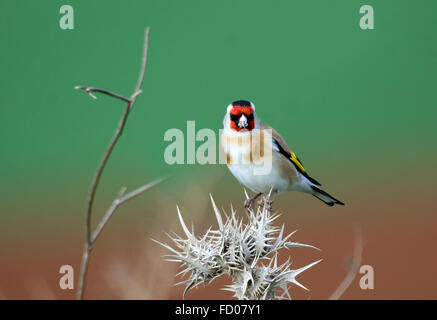 European goldfinch, Carduelis carduelis - Stock Photo