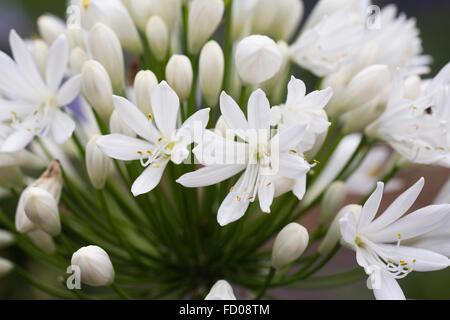 Agapanthus 'White Heaven' flowers.