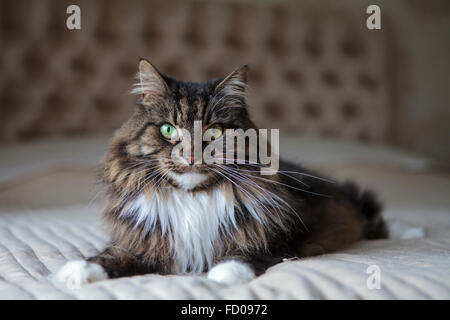 Long haired cat on the bed - Stock Photo