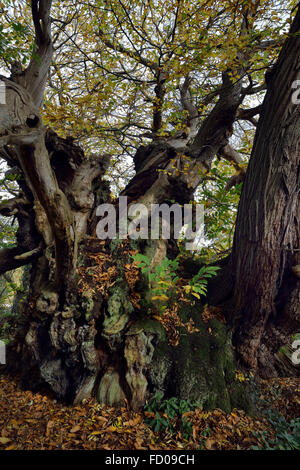 The Tortworth Chestnut Tree - Castanea sativa Over 800 years old Designated one of fifty Great British Trees - Stock Photo