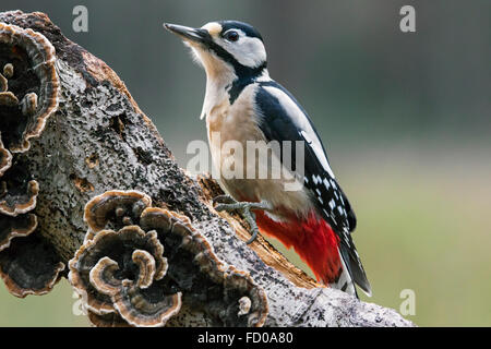 Great Spotted Woodpecker / Greater Spotted Woodpecker (Dendrocopos major) male foraging on tree trunk covered in - Stock Photo