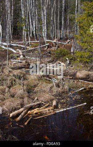 Felled birch trees by Eurasian beaver / European beaver (Castor fiber) - Stock Photo