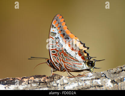 Charaxes jasius, Foxy Emperor butterfly - Stock Photo