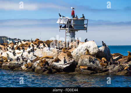 Sea lions and seals on the pier in Monterey, California - Stock Photo
