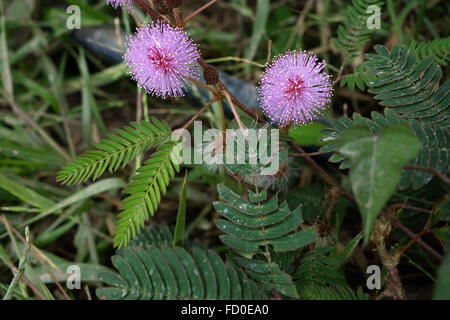 Sensitivity plant, Mimosa pudica, flowereing on waste ground in Quang Ninh Provice, north Vietnam - Stock Photo